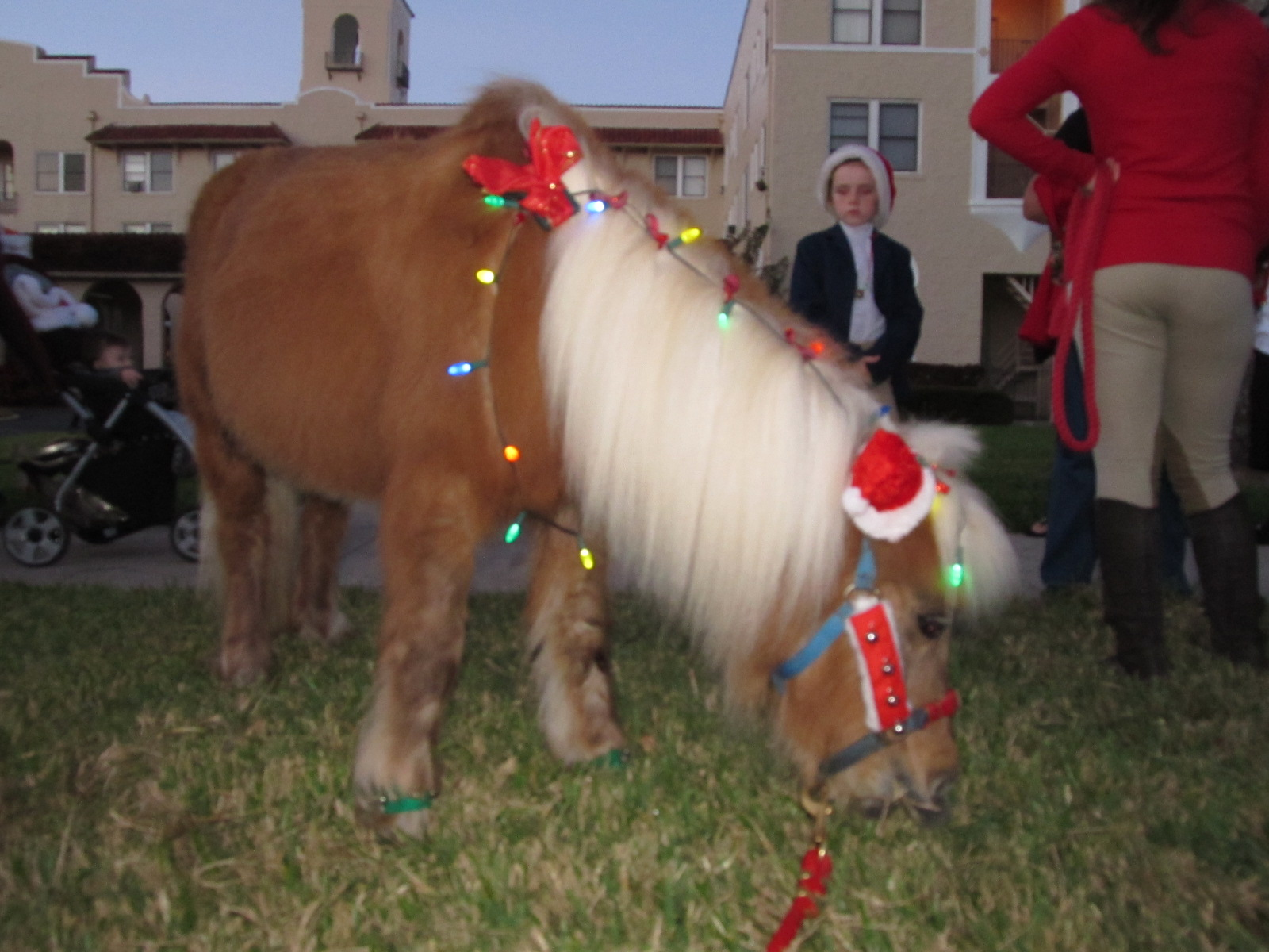 Showtime – Miniature Horse